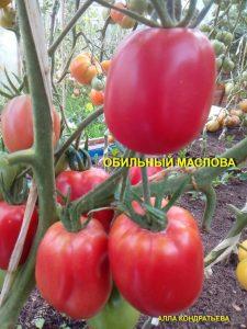 обильные маслова томаты