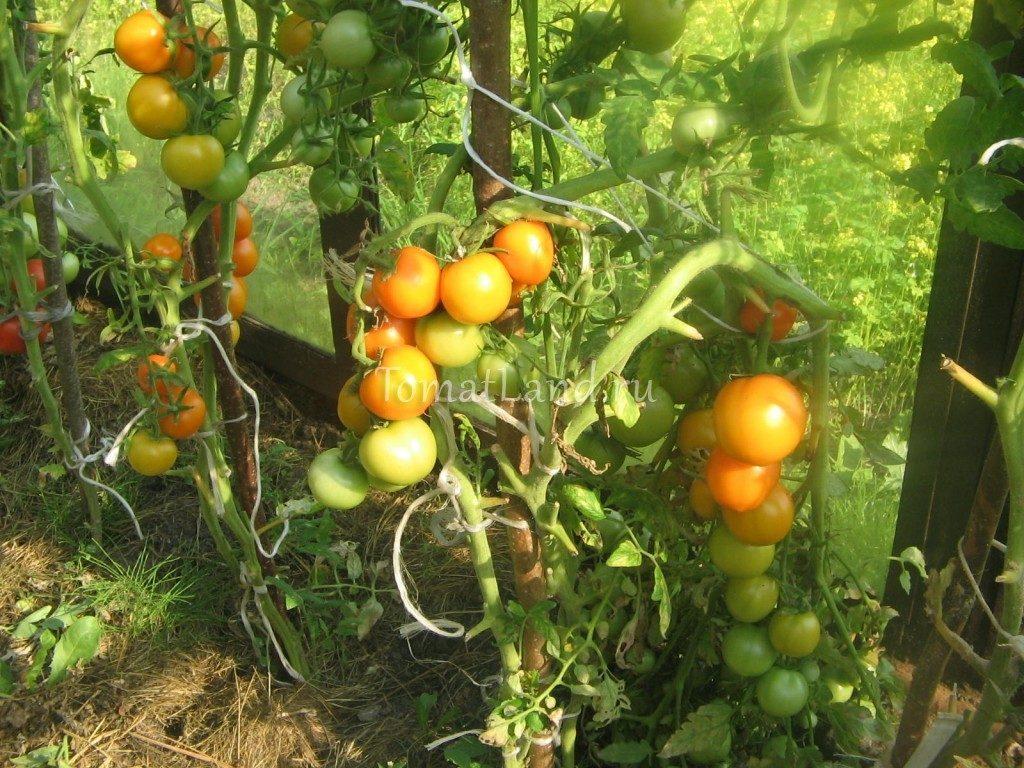 помидоры сорт Очарование фото