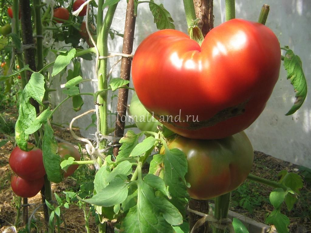 Описание и характеристики томата Райское наслаждение урожайность