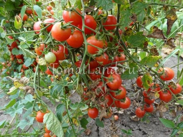 помидоры сорт Шалун фото