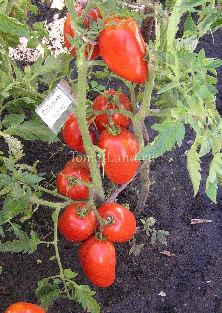 томат сибирская тройка фото куста