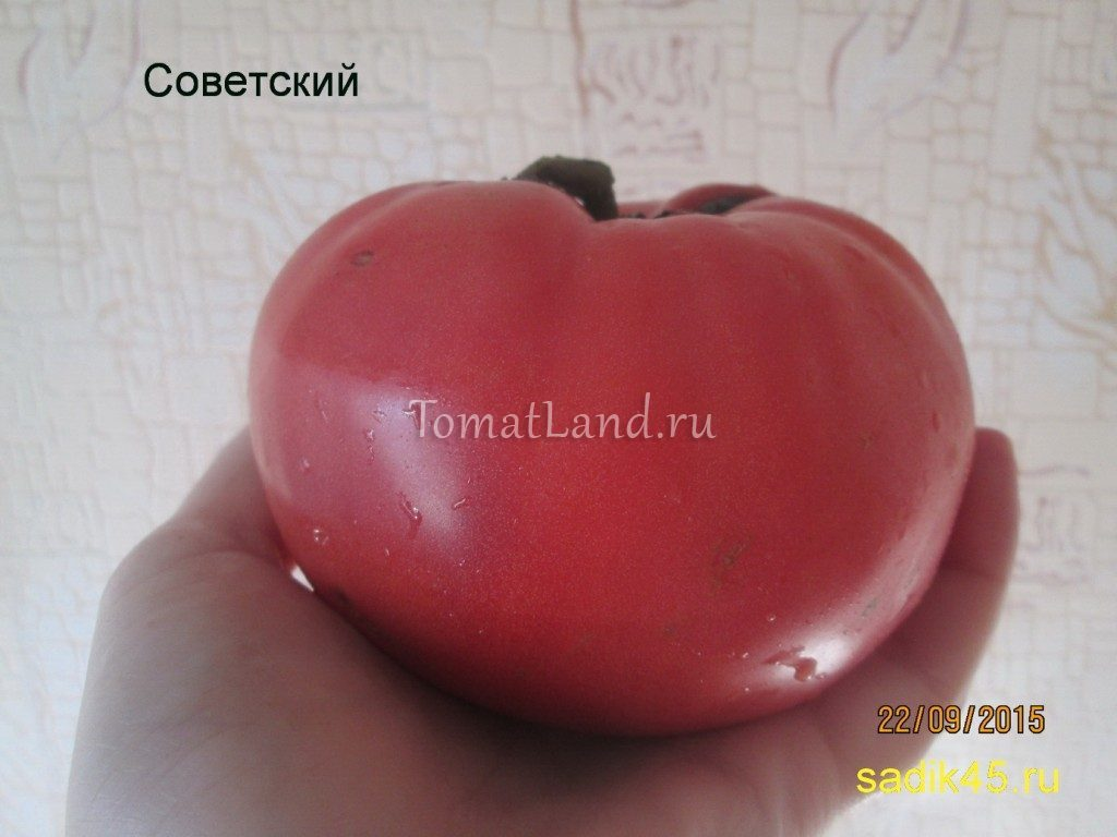 помидоры Советские фото