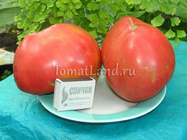 помидоры тяжеловес сибири отзывы и фото спелых плодов