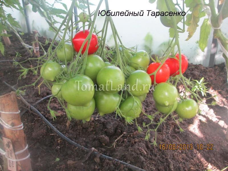 помидоры Юбилейный Тарасенко фото куста