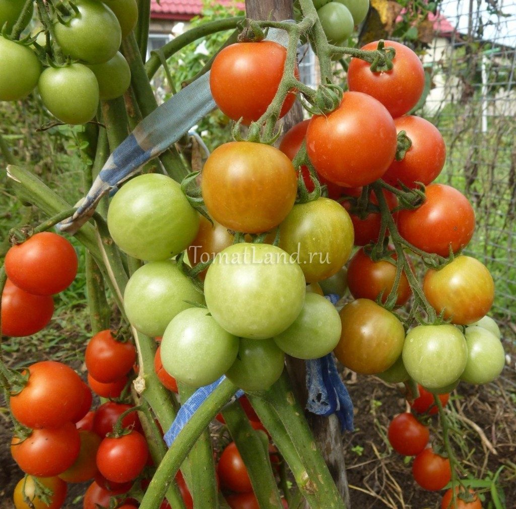 помидоры Валентинка фото