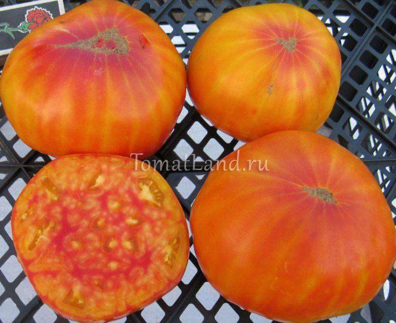 сладости вирджинии томат фото спелых плодов
