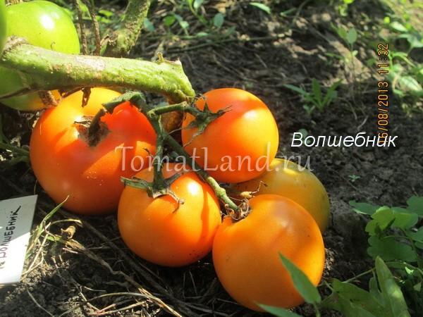 помидоры сорт Волшебник фото