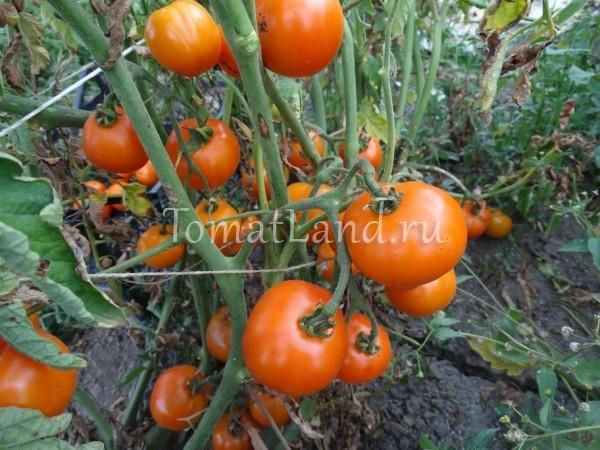 помидоры царская ветка фото куста
