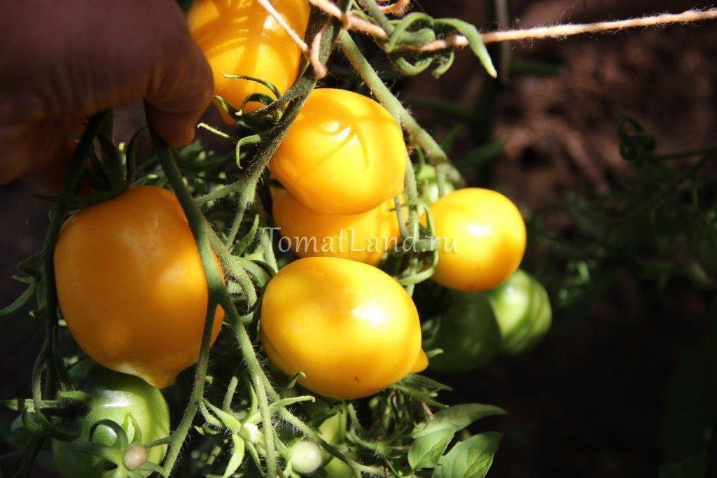 помидоры цитрусовый сад отзывы фото