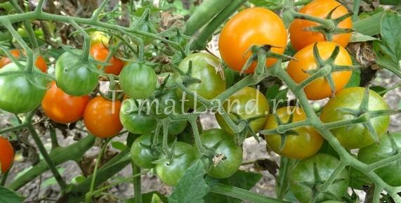 помидоры Злато фото