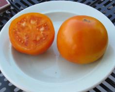 помидоры золотая теща