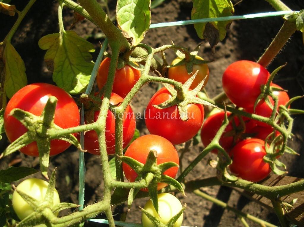 помидоры Дональд фото спелых плодов