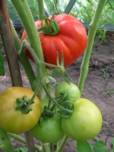 помидоры Катюша отзывы фото