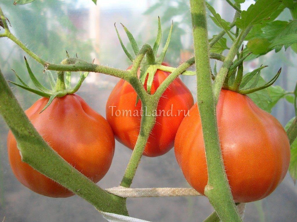 томат Чалма фото куста