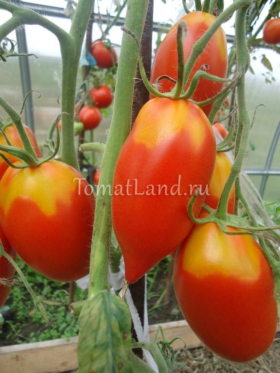 помидоры де барао гигант