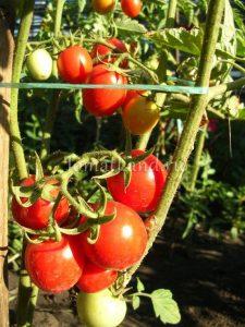 помидоры Дональд сорт