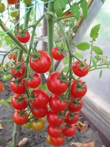 помидоры Саппоро