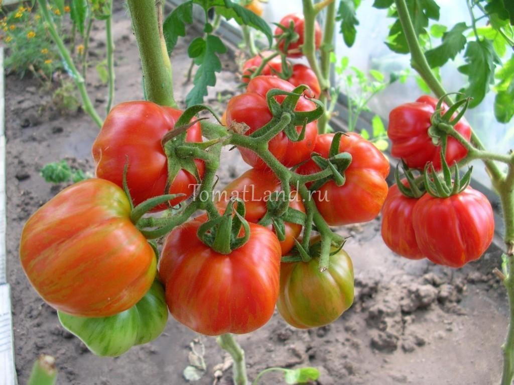 помидоры Форшмак фото куста
