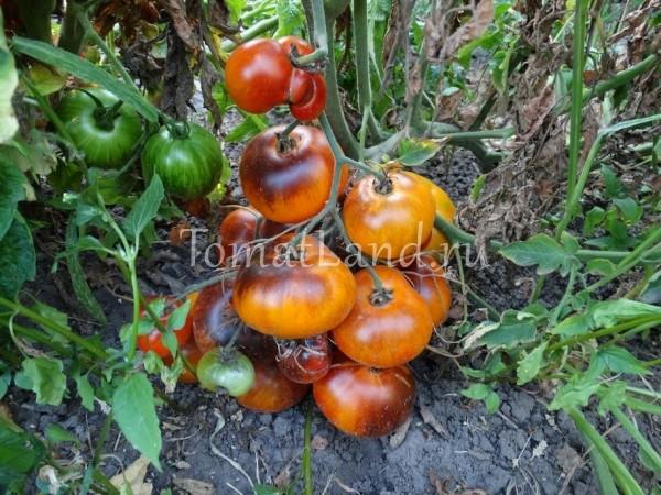 помидоры редких сортов