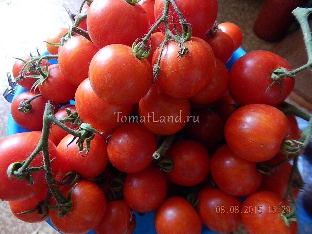 помидоры амурский тигр фото