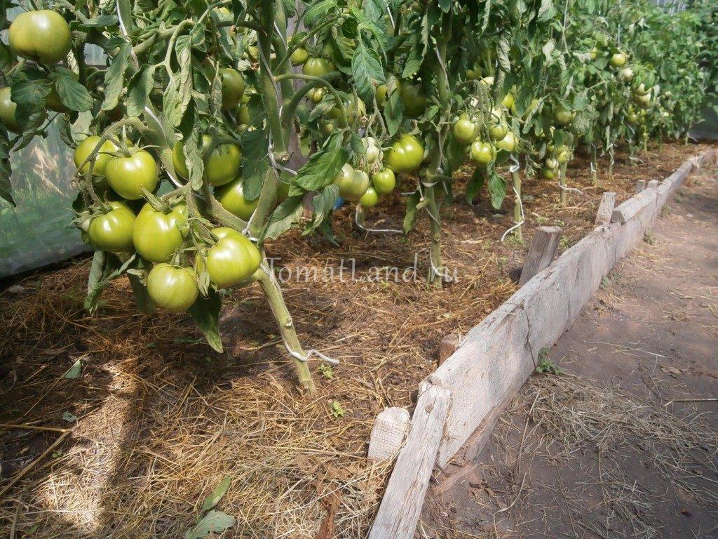 помидоры белый налив