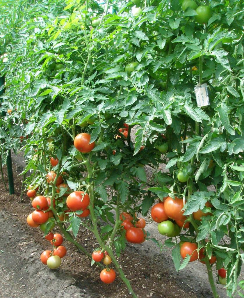 Фото кустов помидор