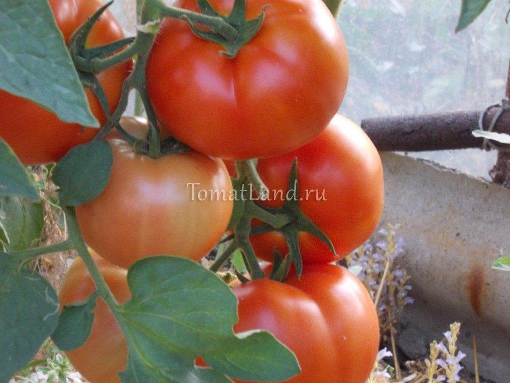 помидоры Бобкат F1 фото