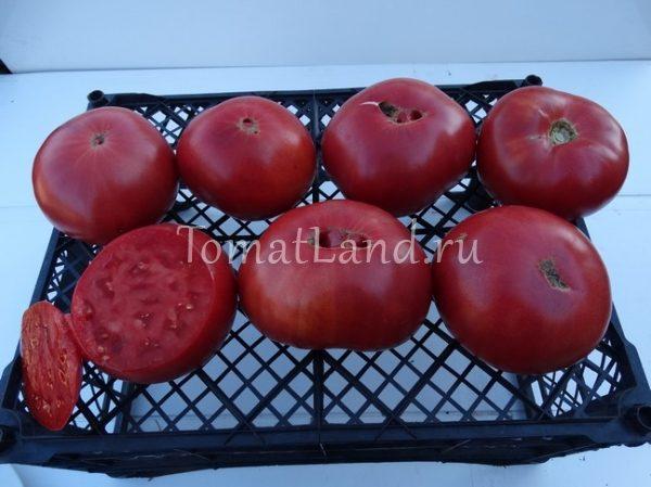 томаты дедушка эшлок