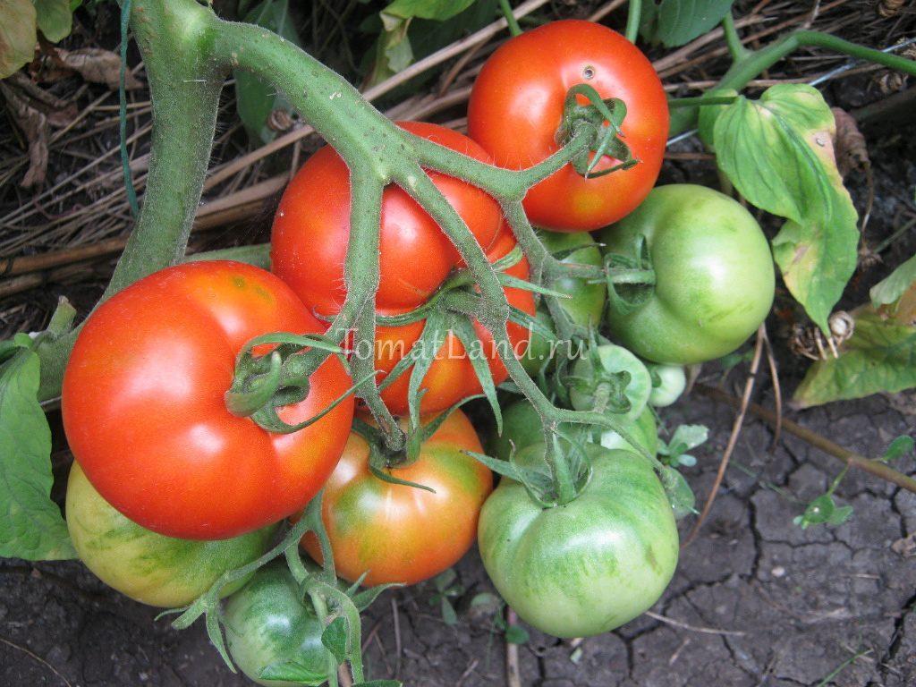 помидоры Джина вид куста фото