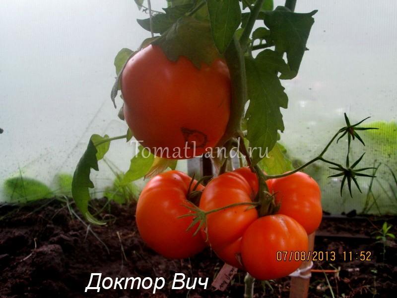 помидоры Доктор Вич фото куста