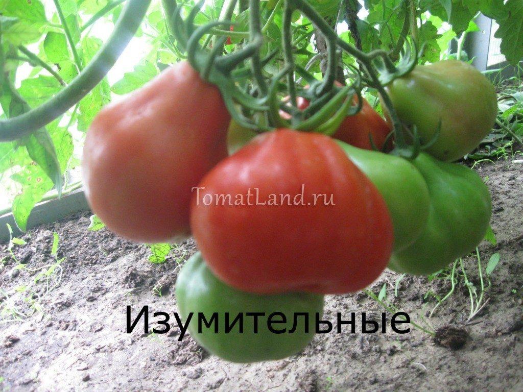 помидоры Изумительные сорт