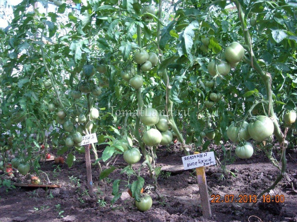 помидоры Яблочный липецкий