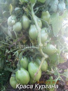 помидоры краса кургана
