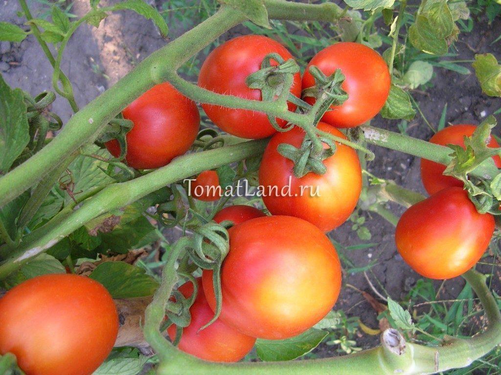 помидоры сорт лагидный фото спелых плодов