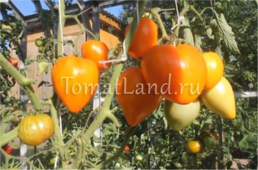 томаты лискин нос фото описание