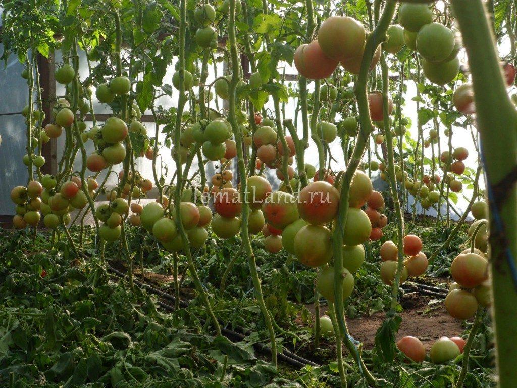 голландский гибрид махитос фото урожайность