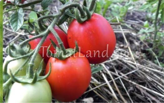 томаты маруся фото