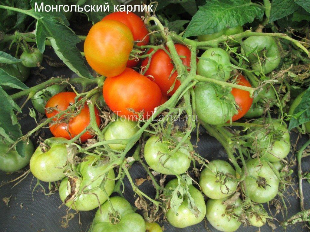 помидоры монгольский карлик фото куста