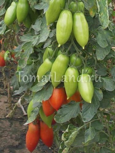 помидоры Ниагара отзывы фото