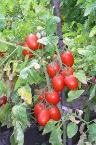 томат новичок фото спелых плодов