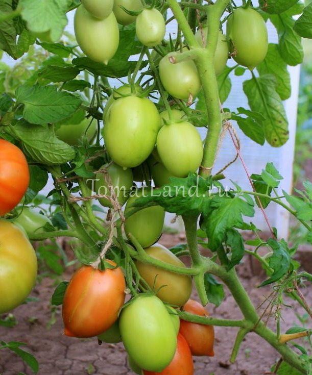 томаты новичок фото на кусте