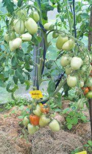 помидоры сорт Новичок фото куста