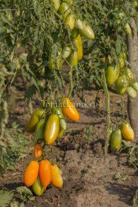 помидоры оранжевая сосулька