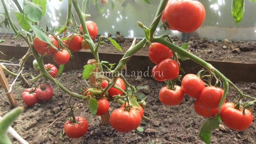 помидоры супербомба фото куста