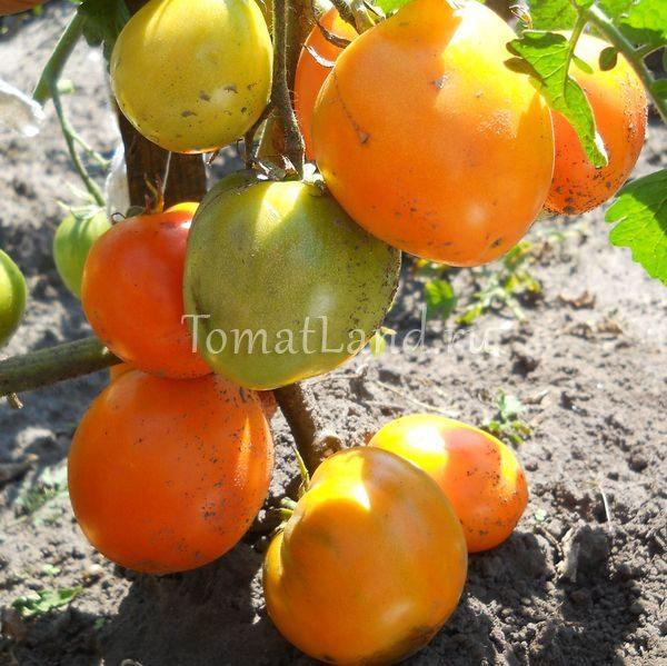 помидоры золотое сердце фото