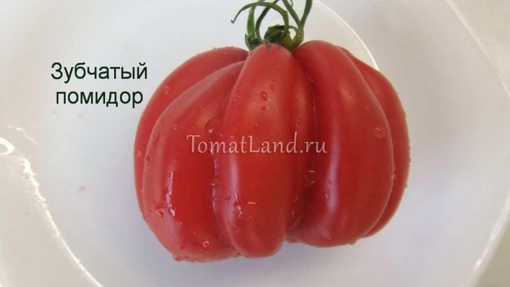томат зубчатый фото спелых плодов