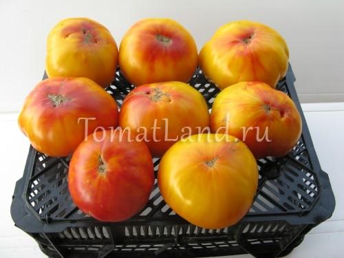 сорт Звезда техаса фото спелых плодов