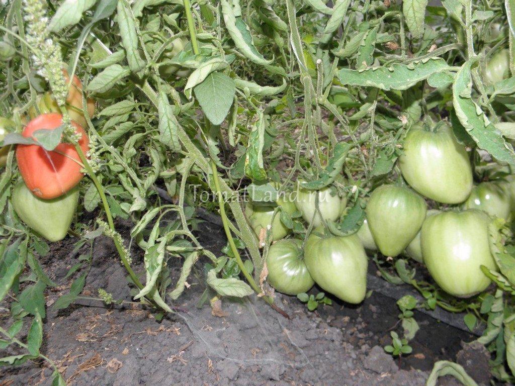 томаты воловье сердце отзывы