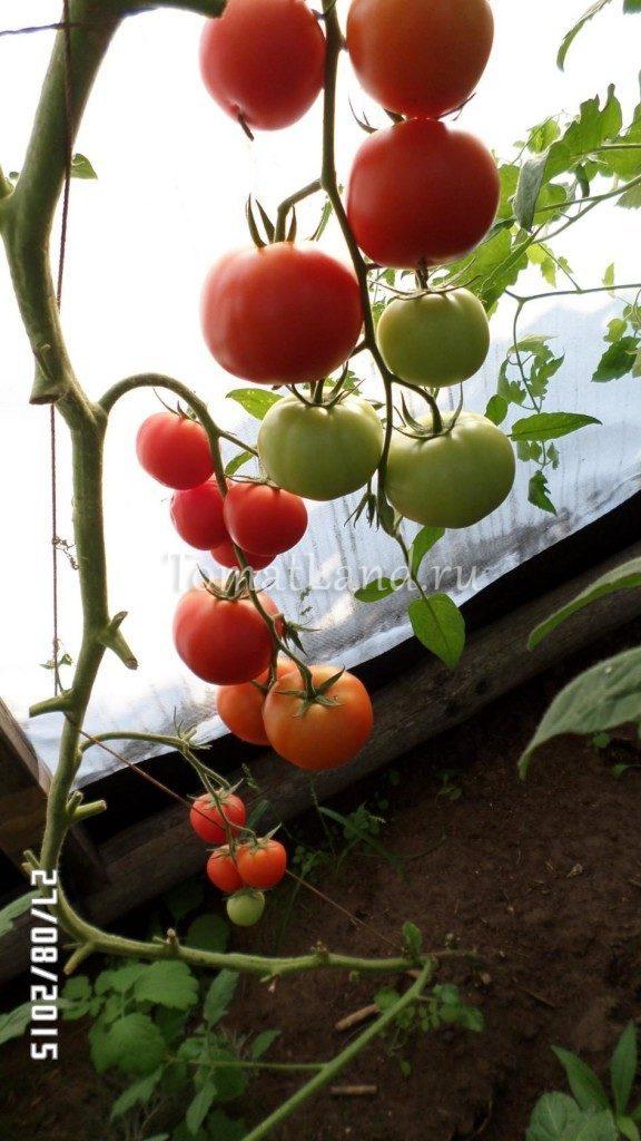 помидоры Диво отзывы