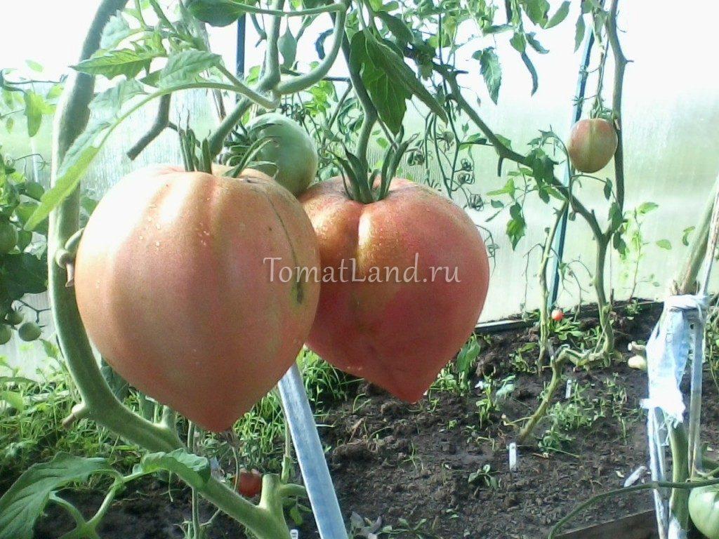 помидоры русская душа сиб сад фото